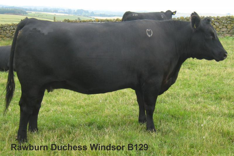 Rawburn Duchess Windsor B129